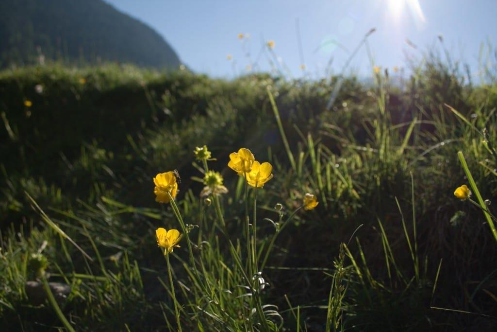 Blumen und Kräuter auf dem Weg im Engadin