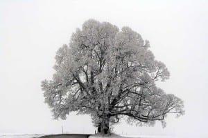 alter Baum am Staffelsee