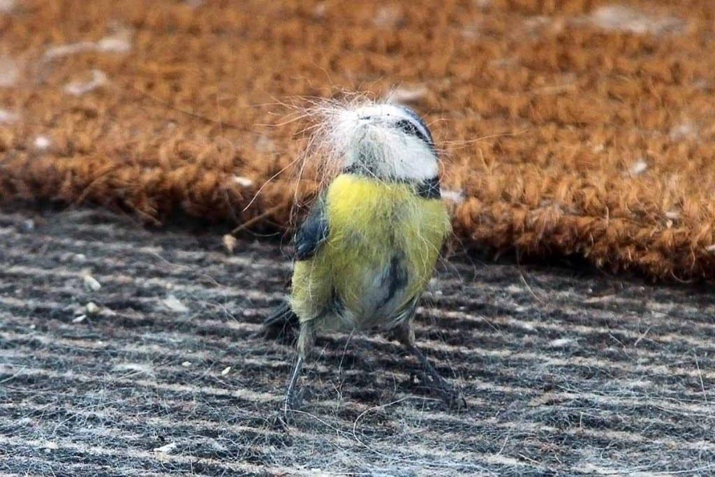 Kohlmeise klaut Katzenhaare für Nestbau