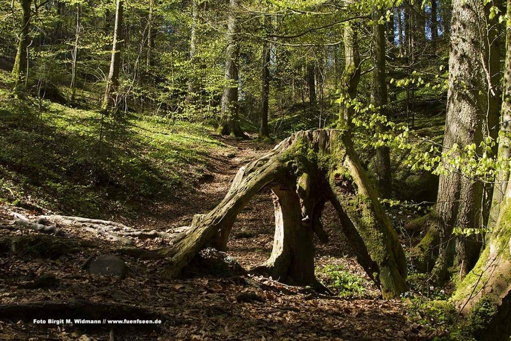 Baumstumpf im wald der Ammerschlucht